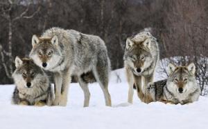 עדת הזאבים הפנימית