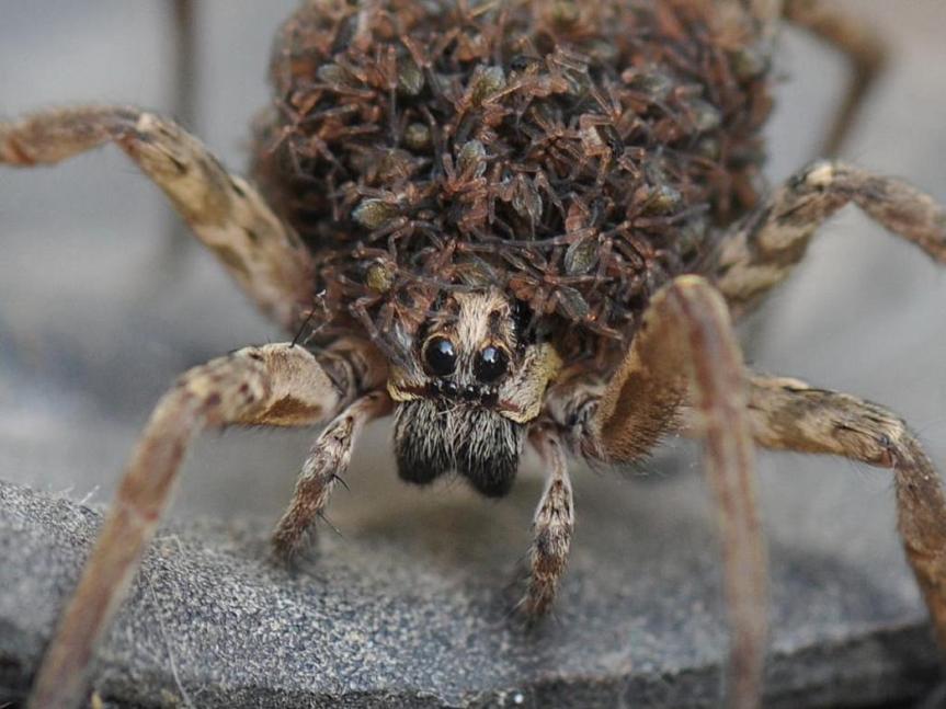 """תמונה של עכביש ממשפחת הזאבנים - """"עכביש-הזאב"""". לפי אמונה תפלה עקיצתו גורמת למחול טירוף."""